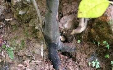 老鸭柿下山桩是不是一定是雌的 要不要挖