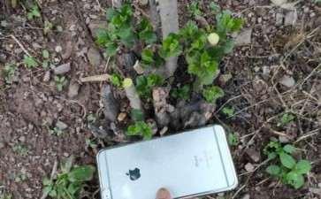 十几公分的母老鸭柿下山桩老桩来芽了