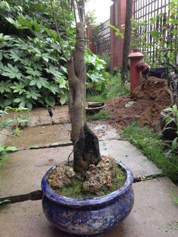 一颗小丛林母老鸦柿下山桩