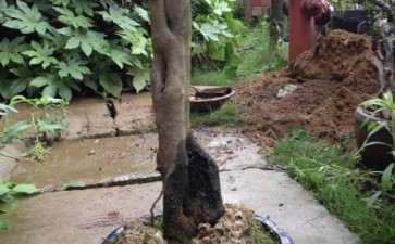一颗小丛林母老鸦柿下山桩 可以吗