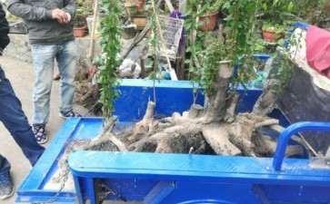 丛林大老鸭柿下山桩 估计有50斤以上