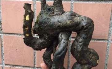这个老鸭柿下山桩多少钱 比较合适 图片