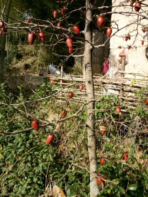 哪个地方的老鸦柿下山桩品种比较好
