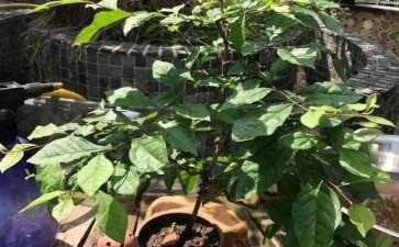 论老鸦柿下山桩怎么施肥的方法