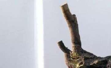 老鸦柿下山桩老桩怎么种植的3个方法