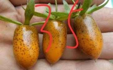 关于老鸦柿下山桩果麻点的原因 图片