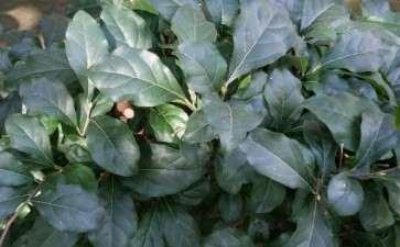 老鸦柿下山桩籽播苗几年能开花结果