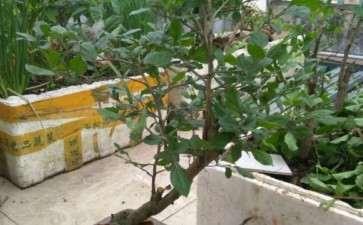 浙江哪里有老鸦柿下山桩 图片