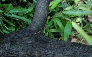 野柿子和老鸦柿下山桩有什么区别 图片