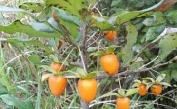 冬天老鸦柿下山桩承受的温度是多少