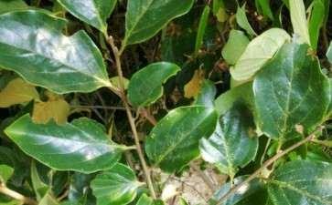 老鸦柿下山桩喜欢阴吗 怎么办 图片