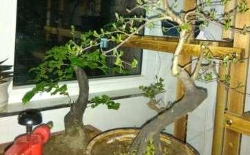 台州哪里山有野生老鸦柿下山桩