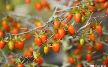 老鸦柿盆景没有公花授粉能结果吗 图片