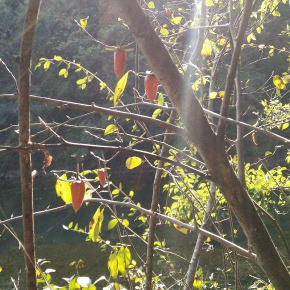 老鸦柿下山桩就是山上的野柿子吗