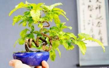 是日本进口的老鸦柿盆景吗 图片