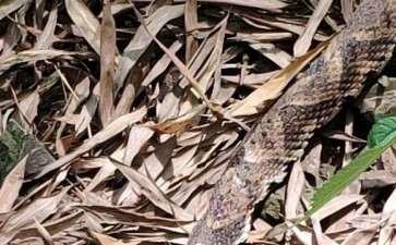 上山挖老鸦柿下山桩 遇到了蛇 怎么办