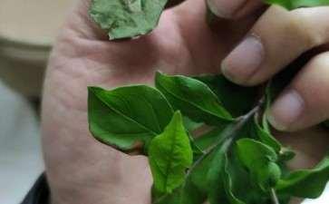 老鸦柿下山桩叶子枯黄 是什么原因呢