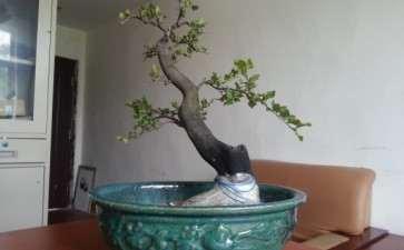 为什么我的老鸦柿盆景不开花 图片
