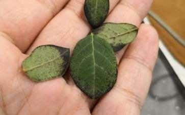 我的老鸦柿下山桩叶子这样了 怎么办 图片