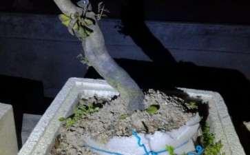老鸦柿下山桩过冬最低能耐几度低温