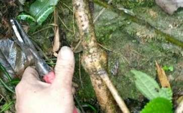 上山捡了个别人砍了的老鸦柿下山桩 图片
