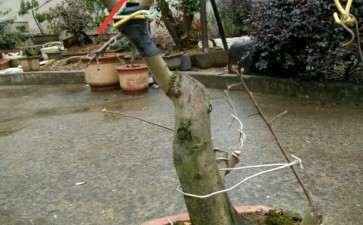 老鸦柿下山桩顶枝一级枝继续养 还是截了