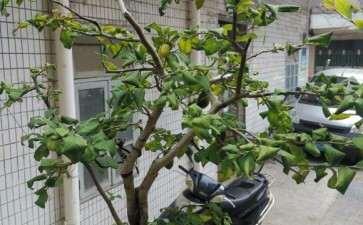 老鸦柿下山桩什么情况 叶子怎么会变这样