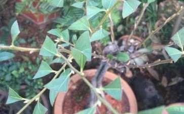 这是老鸦柿下山桩叶芽 还是花芽 图片