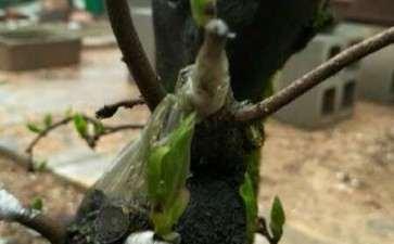 为什么老鸦柿下山桩嫁接等10个月才发芽
