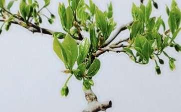 母老鸦柿下山桩挂的花能结果吗 图片