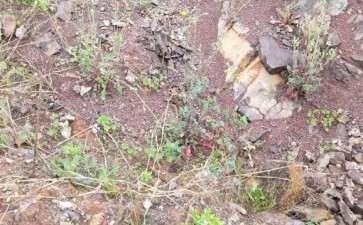老鸦柿下山桩能用风化石种吗 图片