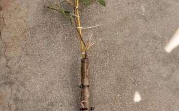 6月底嫁接的老鸦柿下山桩 7月发芽 图片