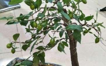 老鸦柿下山桩熟桩带果换盆该注意什么