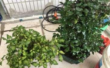 这颗老鸦柿下山桩 叶子是什么问题 图片