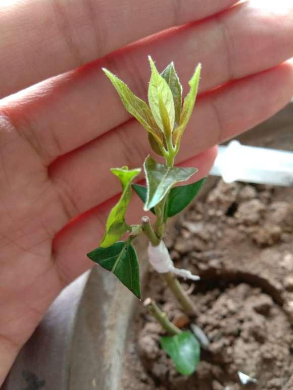 老鸦柿下山桩的枝条怎么嫁接的方法 图片