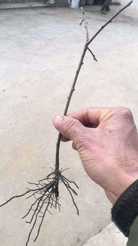 老鸦柿下山桩扦插多久生根
