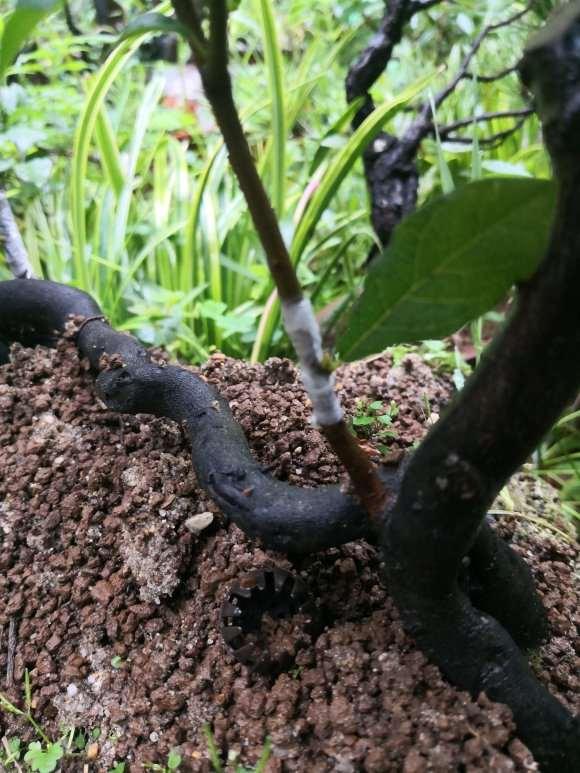 今天冒雨嫁接几个老鸦柿下山桩的芽