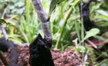 今天冒雨嫁接几个老鸦柿下山桩的芽 图片