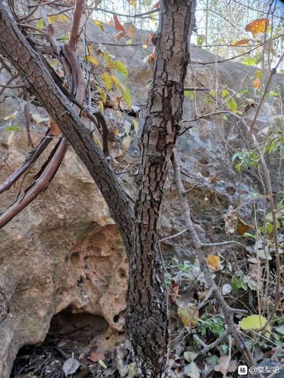 这是棠梨下山桩 还是普通梨树
