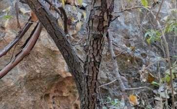 这是棠梨下山桩 还是普通梨树 图片