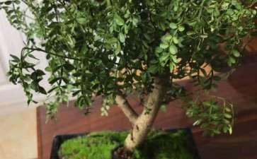 胡椒木下山桩叶子垂落 有几片感觉焦了