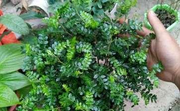北方胡椒木下山桩 冬天最低耐多少度