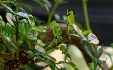 胡椒木下山桩上长了什么虫子 怎么办
