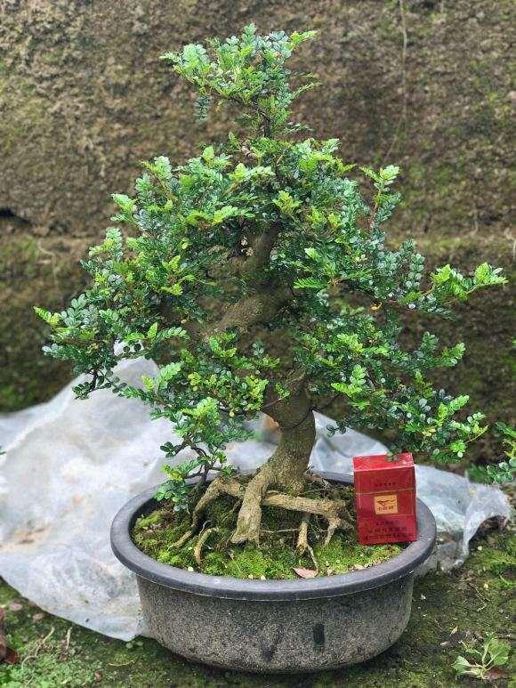 大量出售胡椒木盆景