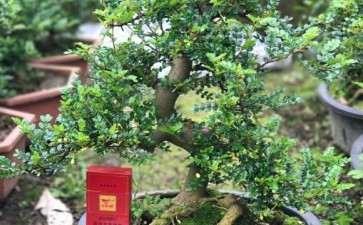 大量出售胡椒木盆景 2000多颗 图片