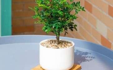 花卉市场卖的胡椒木盆景是什么 图片