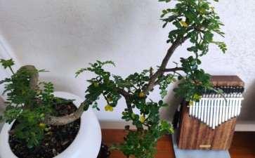 移植了1个多月的胡椒木盆景 叶片发黄