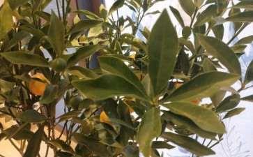 金桔树盆景叶子抽抽 怎么办 图片