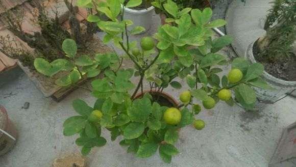 金桔核盆栽种几天能出芽啊
