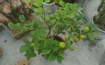 金桔核盆栽种几天能出芽啊 图片